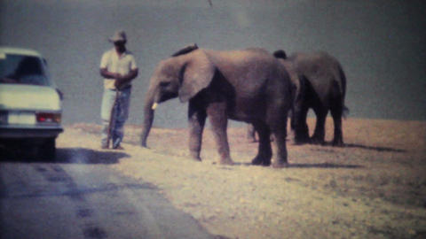Elephants Roaming Through Game Park 1979 Vintage 8mm film Stock Video Footage