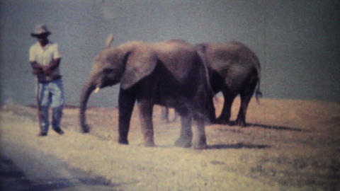 Elephants Roaming Through Game Park 1979 Vintage 8mm film Footage