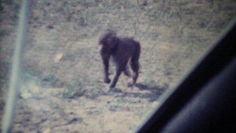 Monkeys Attack Car On Game Reserve 1979 Vintage 8mm film Stock Video Footage