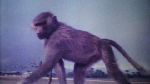 Monkeys Attack Car On Game Reserve 1979 Vintage 8mm Film stock footage