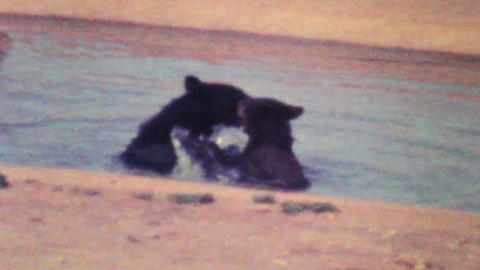 Young Bear Cubs Playing Together 1979 Vintage 8mm film Stock Video Footage