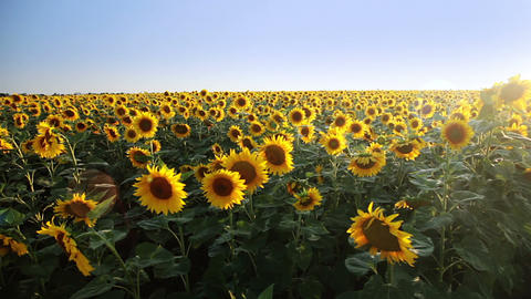 Field of sunflowers and the sun. Panorama Stock Video Footage