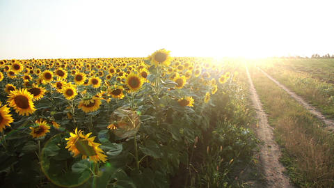 Field of sunflowers and the sun. Panorama Footage