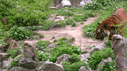 Tiger Stock Video Footage