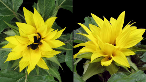 Time-lapse blooming sunflower two synchronised cameras in RGB + ALPHA matte form Footage