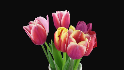 Time-lapse of opening mixed color tulips bouquet with ALPHA channel Footage