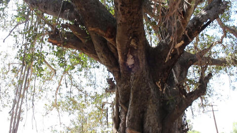 Large ficus. Sacred Banyan tree in India (animism), however, not well maintained Footage