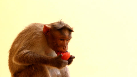 Indian macaques, bonnet macaques, or (lat. Macaca radiata) Footage