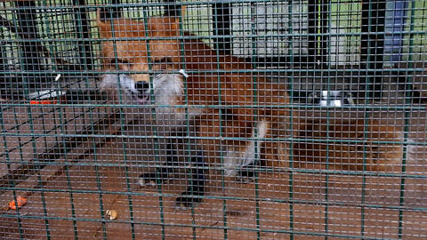 Red Fox in cage. Symbol of captivity, loss of freedom Live Action