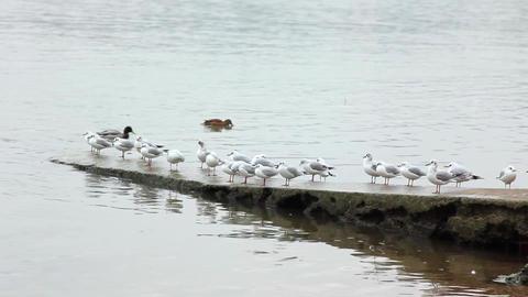seagulls on riverside Live Action
