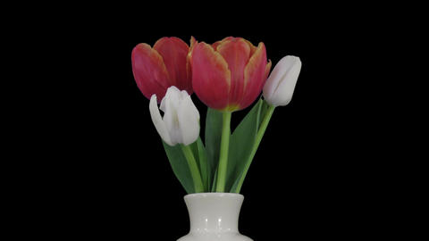 Time-lapse of opening mixed color tulips bouquet RGB + ALPHA matte Footage
