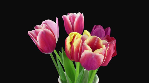 Time-lapse of opening mixed color tulips in RGB + ALPHA matte format Footage