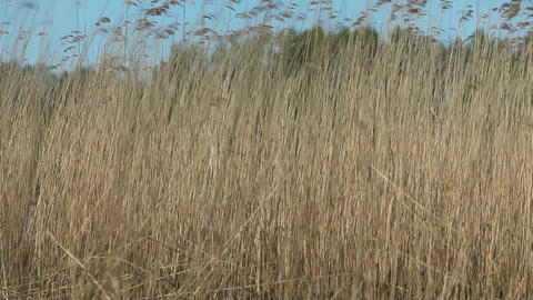 Bulrush at the wind Footage
