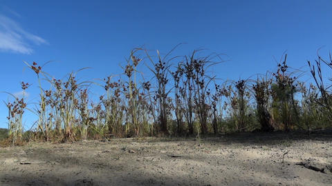 Marsh grasses in bright spots and taking shape in the blue sky 52 Footage