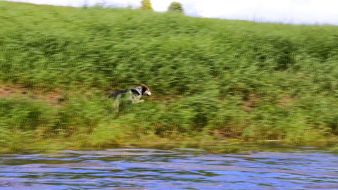 Hunting dog runs through the river Live Action