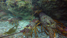 Lobsters. Fascinating and mysterious underwater dive sea kelp gardens. Of the Pa Live Action