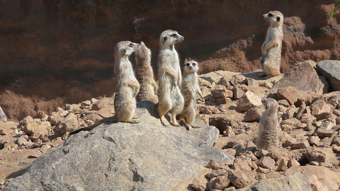 Group of meerkats on the lookout for predators Live Action