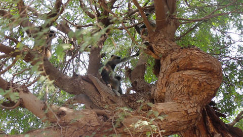 Langur monkeys are hiding in crown of old acacia tree 2 Stock Video Footage