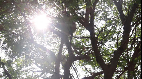 Langur monkeys are hiding in crown of old acacia tree 4 Live Action