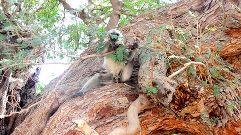 Langur monkeys are hiding in crown of old acacia tree 3 Live Action