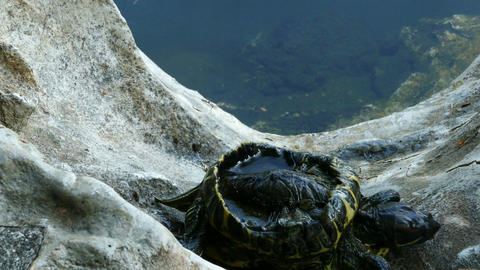Turtle with open back trying to get out of the water over the rocks Footage