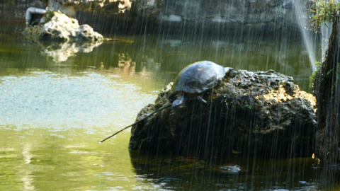 Turtle jumps in the water from the rocks Footage