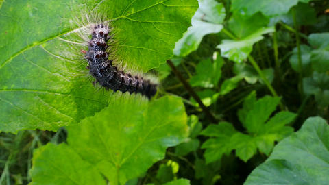 Lymantria dispar caterpillars move in forest Footage