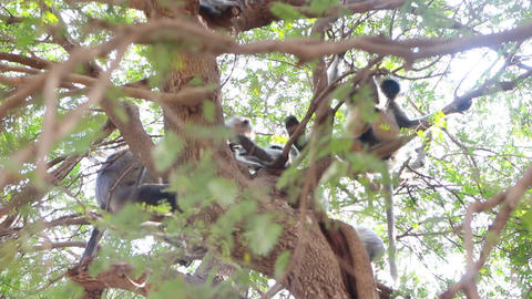 Bunch of monkeys (langur) got the branchy tree Live Action