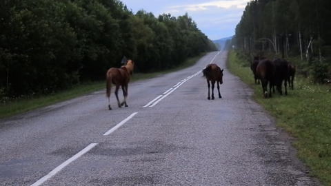 herd of horses out at empty highway ahead Live Action