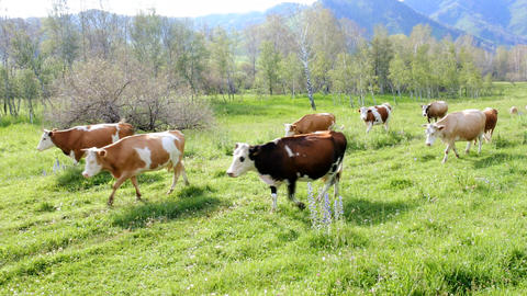 fat herd of cows in a mountainous area is on green grass Footage