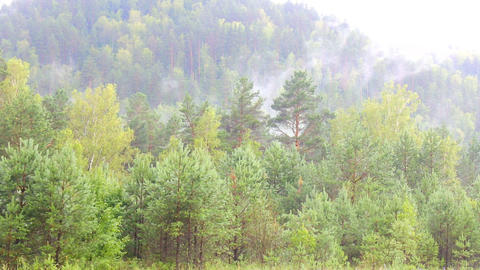 Evergreen Forest Overview. Tops of Tall Green Trees with Dense Fog Rolling Over Footage