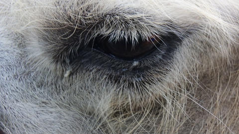eye of a camel Footage