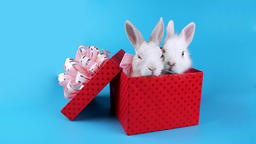 Lovely couple of rabbits with pink bows, relaxing in the present box Footage