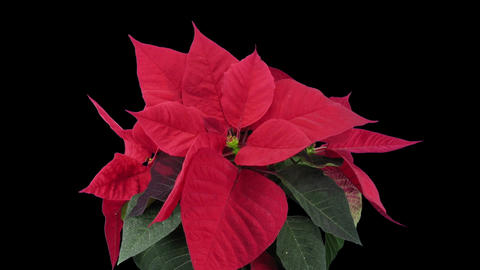 Time-lapse of dying red poinsettia Christmas flower in RGB + ALPHA matte format 이미지