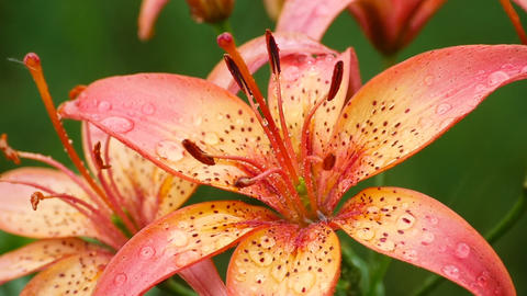 Orange Lily flower under rain Footage