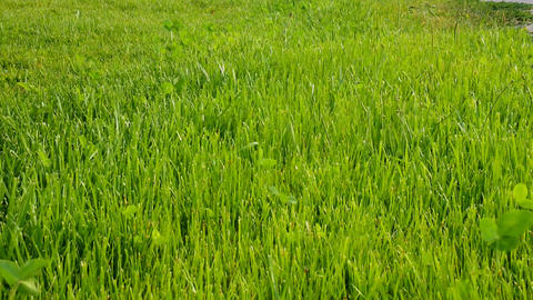 Lush pastures after the first grazing of cattle Live Action