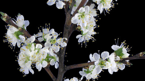 Time-lapse of blooming plum tree branch with ALPHA channel Footage