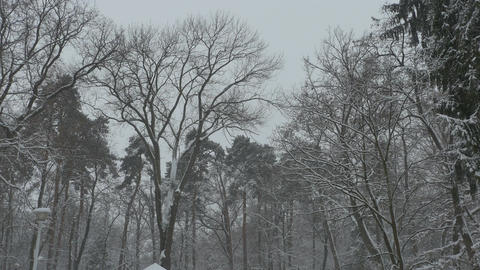 Tall Trees Snowing Footage
