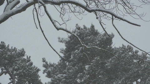 Thick Snowing Branches and Trees Footage