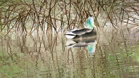 Drake floating over pond surface with inversion filter Footage