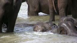 Small elephants play in the water Footage
