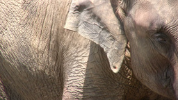 Closeup of two elephants in Sri Lanka Stock Video Footage