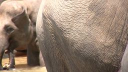 Closeup of two elephants in Sri Lanka Footage