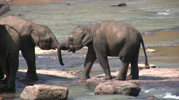 Two young elephants play in the river Footage