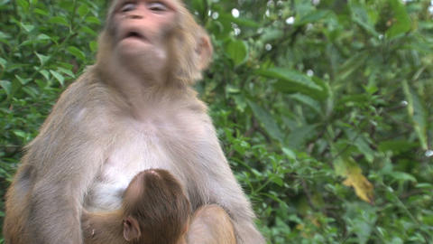 Close up Mother Monkey Stock Video Footage