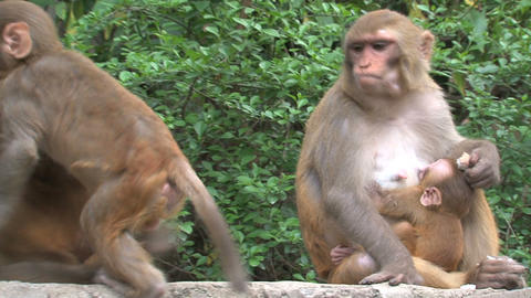 Baby and mother monkeys at a wall Stock Video Footage