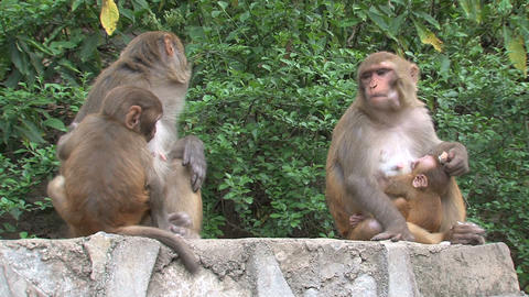 Baby and mother monkeys at a wall Footage