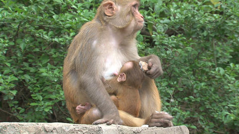 Mother Monkey feeding a baby Footage