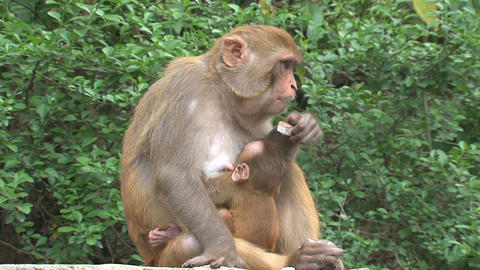 Mother Monkey feeding a baby Stock Video Footage