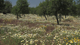 Almond Trees stock footage